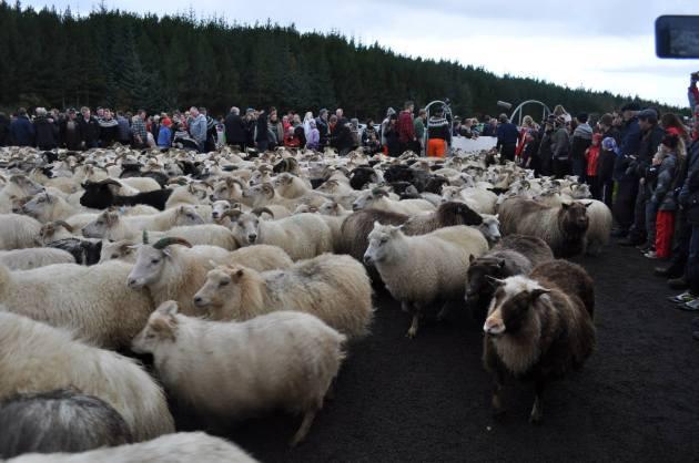 Sheep Round Up in Iceland (réttir)