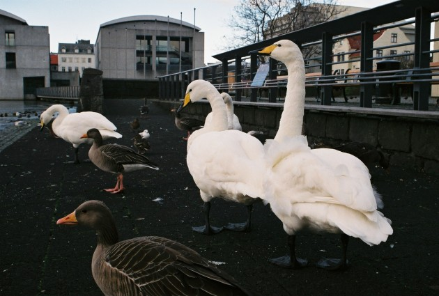 Swans in Reykjavik