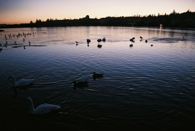 Swans in Reykjavik, Iceland
